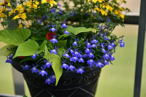 "Lobelia Bella Mare 3.5"" pot"