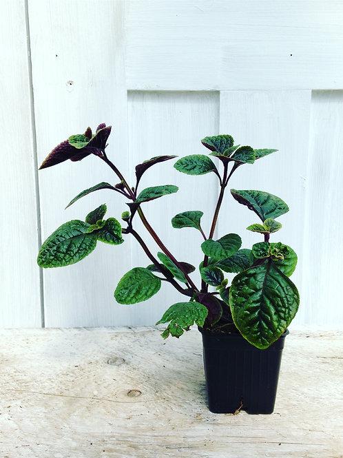 "Plectranthus Nico (purple Swedish Ivy) 3.5"" pot"