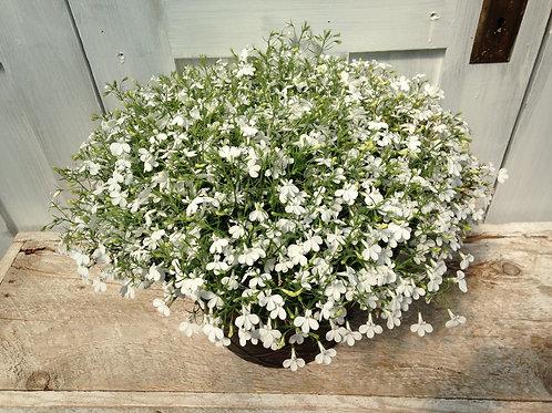 """Lobelia Hot White 3.5"""" pot"""