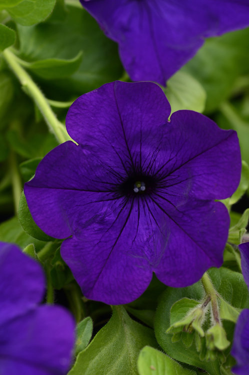"Petunia Mainstage Violet - 3.5"" pot"
