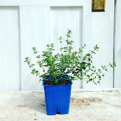 Thyme English - Herb