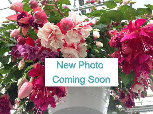 "Fuchsia Claudia 3.5"" pot"