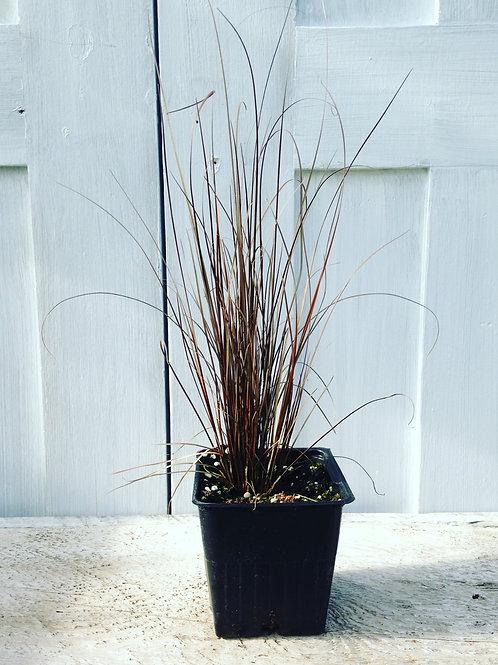 """Grass Carex Red Rooster 3.5"""" pot"""