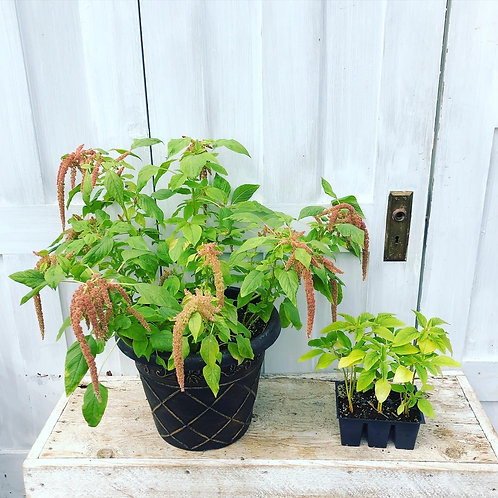 Amaranthus Coral Fountain 6 pack