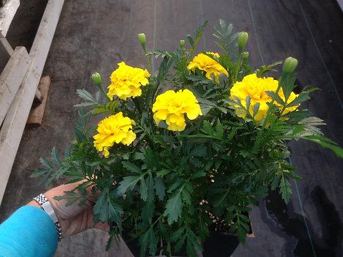 Marigold Super Hero Yellow 6 pack