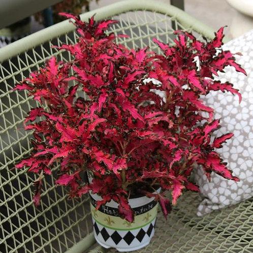 "Coleus Under the Sea Pink Reef 3.5"" pot"
