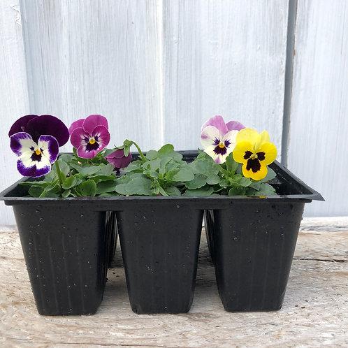 Viola Sorbet Spring Select Mix XP (pansy) 6 pack