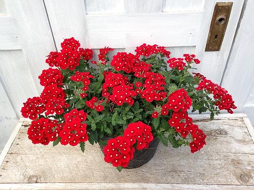 """Verbena Empress Sun Red 3.5"""" pot"""