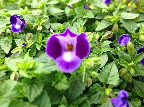 "Torenia Purple Moon 3.5"" pot"