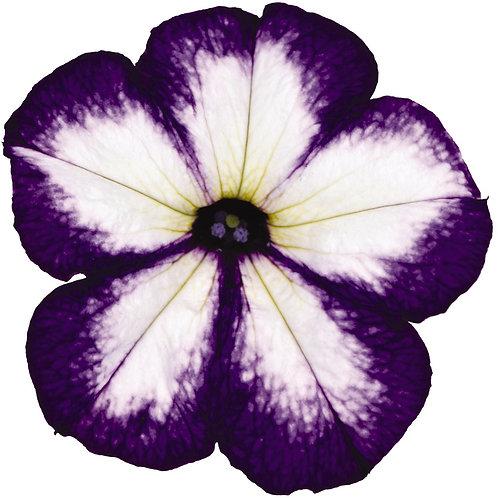 Petunia Surprise Tie Dye Violet