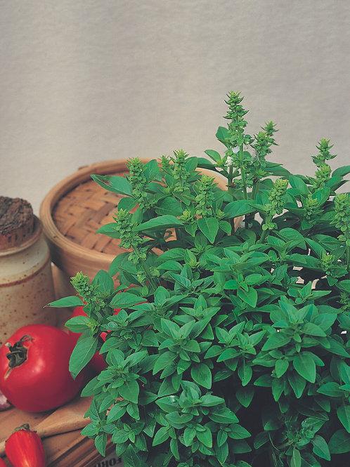 Basil Spicy Globe -Herb