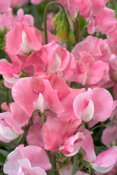 Sweet Pea Mammoth Rose Pink 6 pack