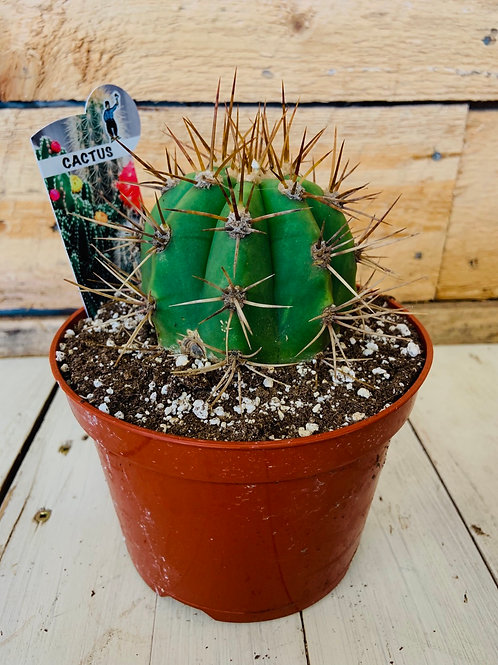 """6"""" Cactus Collection"""