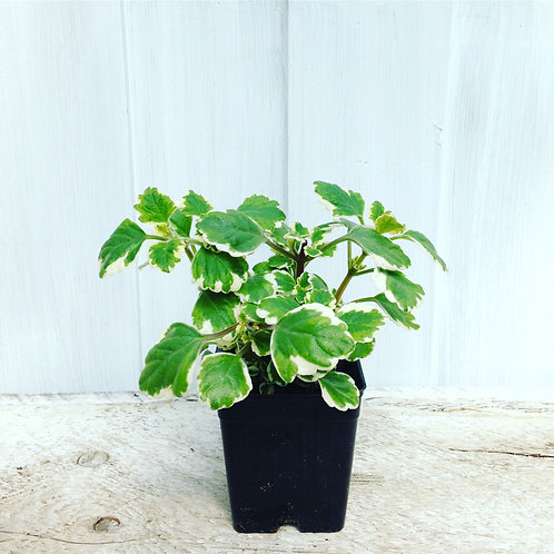 "Plectranthus Varigated, Swedish Ivy 3.5"" pot"