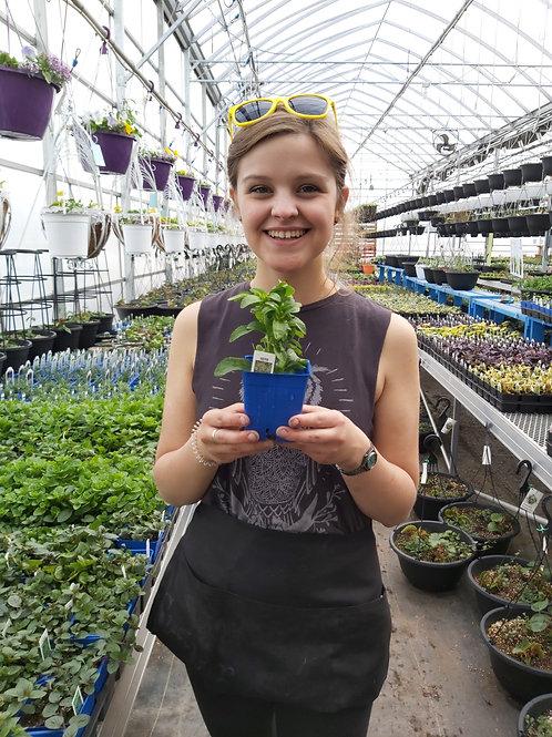 Stevia Sweet Leaf - Herb