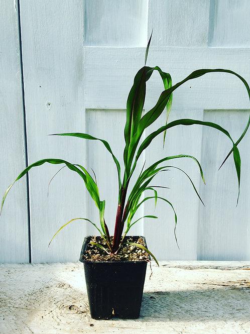 "Grass  Pennisetum Millet Purple Baron 3.5"" pot"