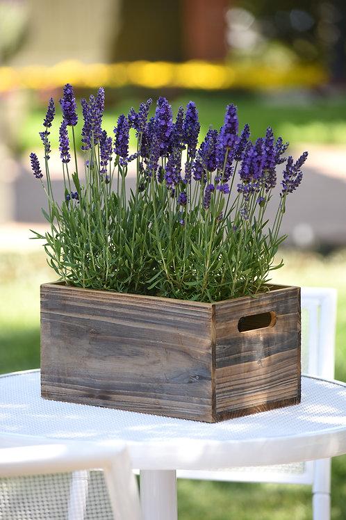 Lavender Blue Spear -Herb