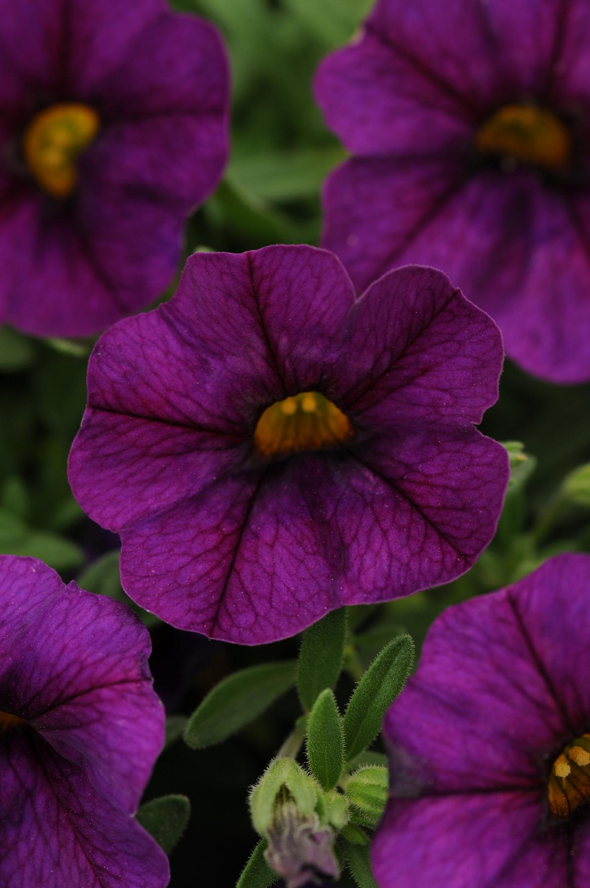 Calibrachoa_Kabloom_Deep_Blue_Bloom_9342