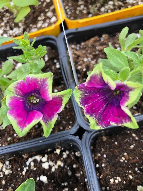 "Petunia Crazytunia Kermit Purple 3.5"" pot"
