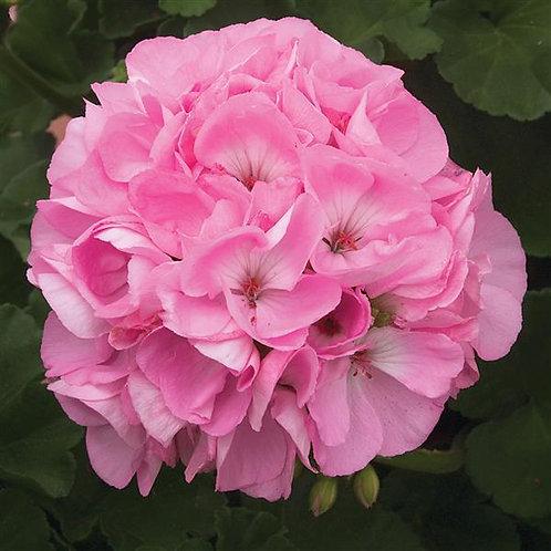 """Geranium Zonal Sunrise Pink Light 3.5"""" pot"""