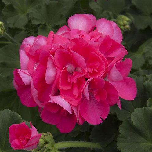"""Geranium Zonal Sunrise Pink Hot 3.5"""" pot"""