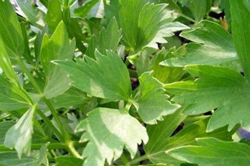 Lovage -Herb