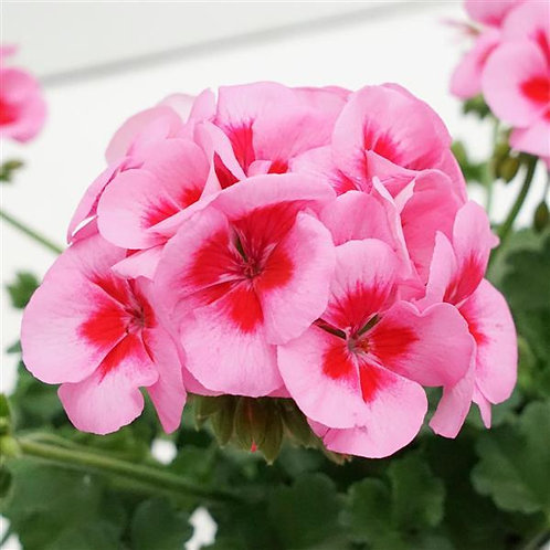 "Geranium Zonal Sunrise Rose Big Eye 3.5"" pot"