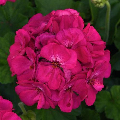 """Geranium Zonal Galaxy Purple 3.5"""" pot"""
