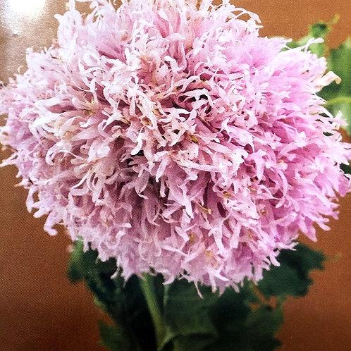 "Poppy Lilac PomPom 3.5"" pot"