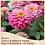 Thumbnail: Zinnia Zahara Double Raspberry Ripple 6 pack