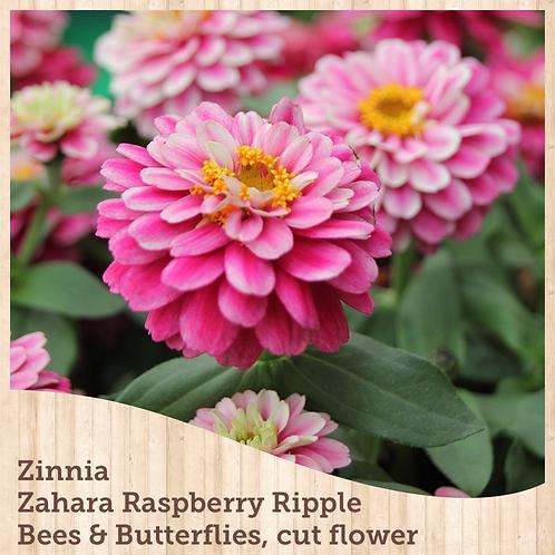 Zinnia Zahara Double Raspberry Ripple 6 pack