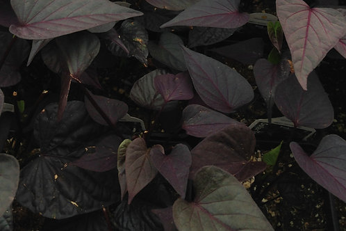 "Ipomoea Potato Vine Black Heart 3.5"" pot"