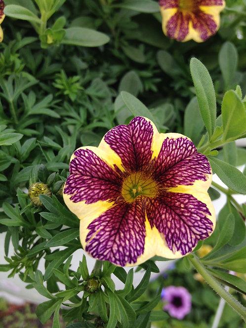 "Calibrachoa Caltastic Marooned 3.5"" pot"