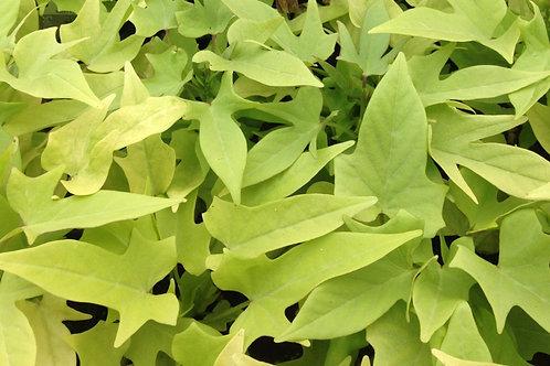 "Ipomoea Potato Vine Lime Spiky 3.5"" pot"