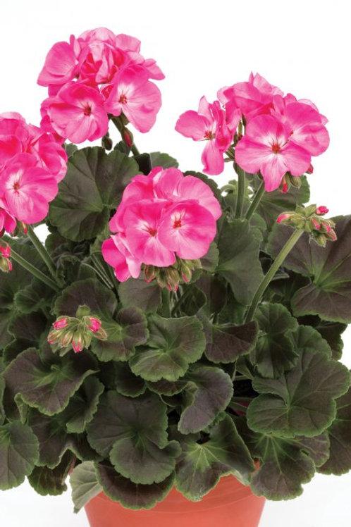 """Geranium Zonal Chocolate Pink Dragonfruit 3.5"""" pot"""