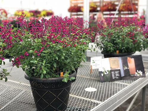 "Salvia Ignition Vibe Purple 3.5"" pot"