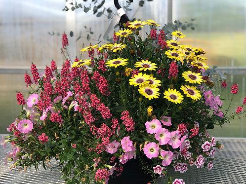 "Diascia Towers of Flowers Dark Pink 3.5"" pot"