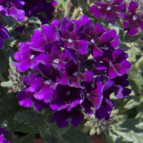 """Verbena Lascar Black Velvet 3.5"""" pot"""