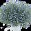 """Thumbnail: Lobelia Anabel Blue Hope 3.5"""" pot"""