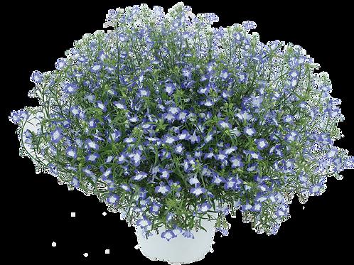 "Lobelia Anabel Blue Hope 3.5"" pot"