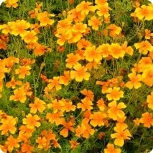 Marigold Gem Tangerine 6 pack