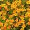 Thumbnail: Marigold Gem Tangerine 6 pack