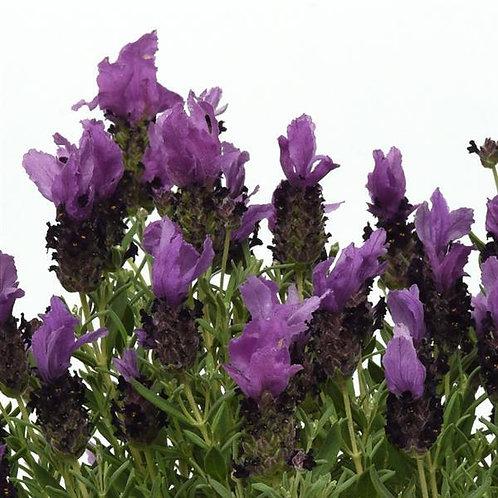 Lavender Bandera Purple -Herb