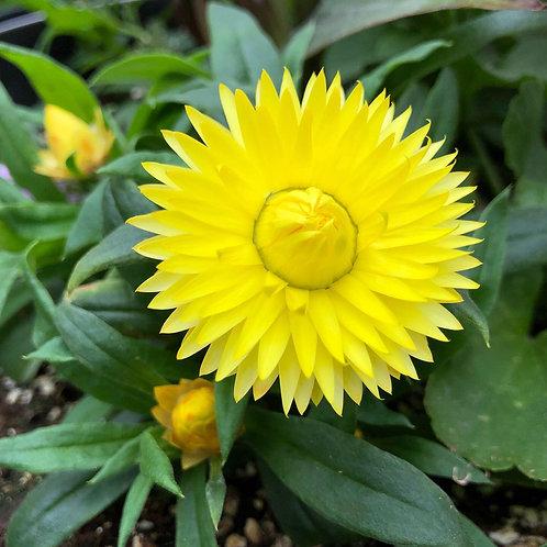 "Strawflower Bracteantha Cottage Lemon 3.5"" pot"