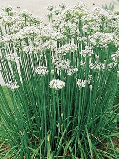 Chives Garlic -Herb