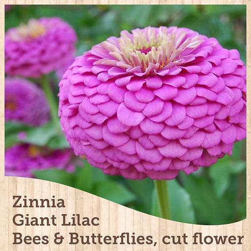 Zinnias Benary Giant Lilac 6 pack