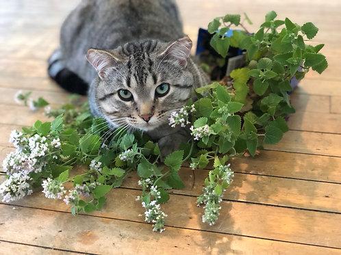 Catnip -Herb