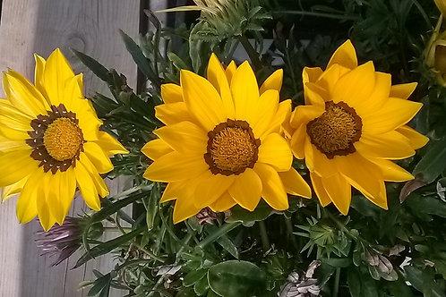 Gazania New Day Yellow 6 pack