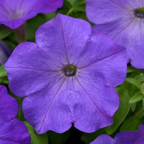 "Petunia Easy Wave Lavender Sky Blue - 3.5"" pot"
