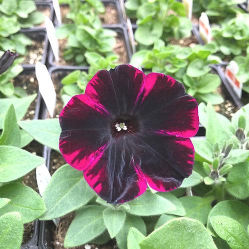 "Petunia Sweetunia Johnny Flame - 3.5"" pot"